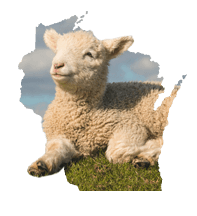 Wisconsin Sheep
